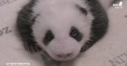 Pandy-bliźniaki z berlińskiego zoo otworzyły oczy po raz pierwszy. Urocze?